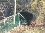 Neveiklais lācis
