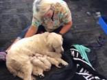 Lidostā ASV suns-pavadonis laiž pasaulē astoņus kucēnus