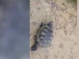 Uz Būriņu ceļa Jelgavā manīts savvaļai nepiemērots bruņurupucis