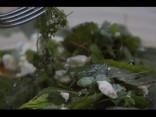 «Līgo mežā»: savvaļas salāti ar kazas sieru