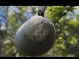 «Līgo mežā»: Jāņu siers no meža veltēm jeb meža siers