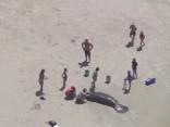 Floridas piekrastē izglābti pludmales lamantīni