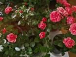Vasaras puķu karalieņu - rožu laiks!