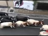 Pamplonas vēršu skrējienā ievainoti pieci cilvēki
