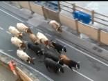 Pamplonas buļļu skrējiens
